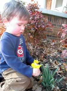 Littlest examining the daffodils