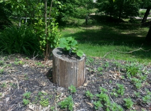 squash stump