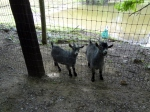 silly goats