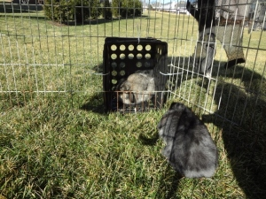 bunnies in their play pen